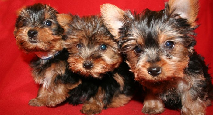 Where to Find Puppies for Sale in Long Island