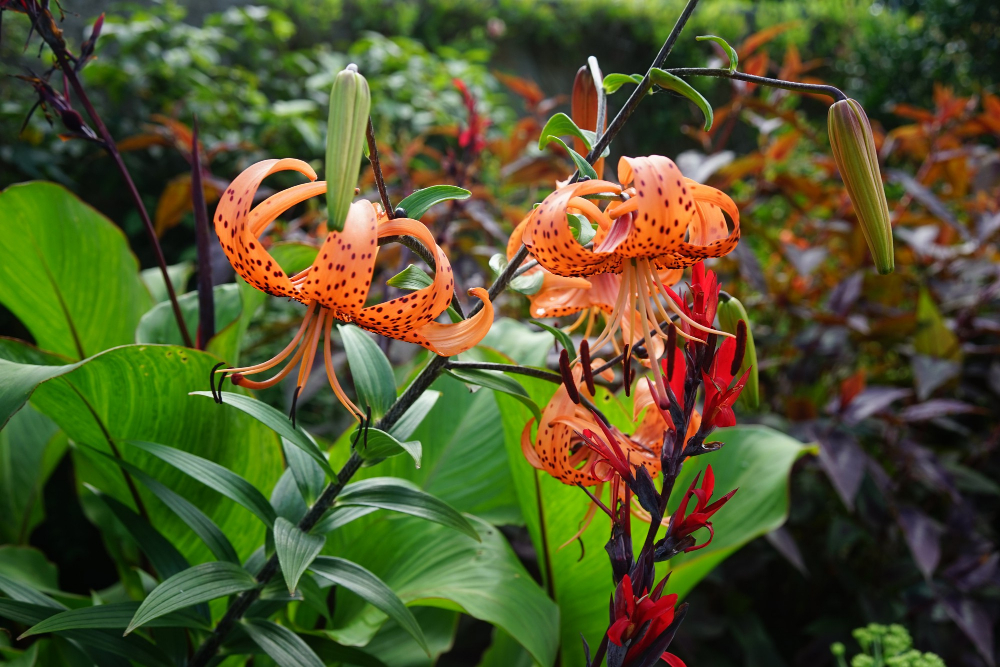 Tiger Lily Forest Plants