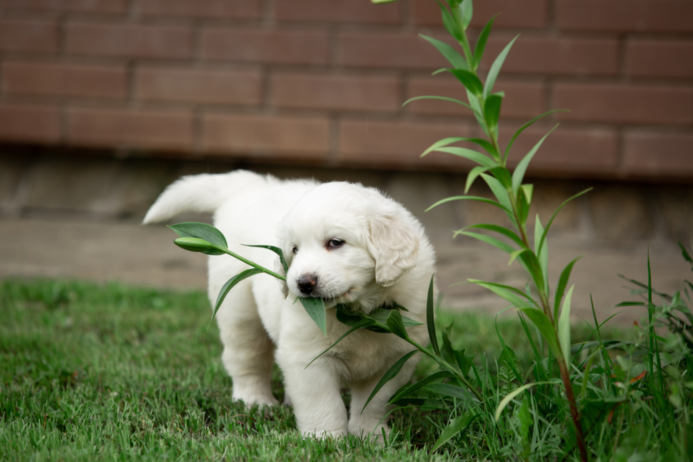 Why-Do-Dogs-Eat-Plants-Is-it-Normal